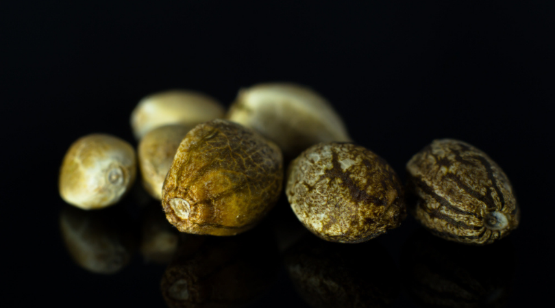 How to Choose Cannabis Seeds for Healthy Plants