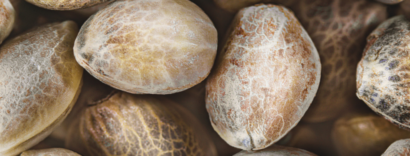 Types Of Cannabis Seeds